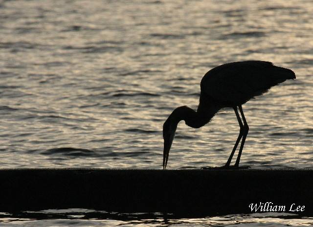 7. A striking Great Blue enjoys a meal with a view in Pascagoula.