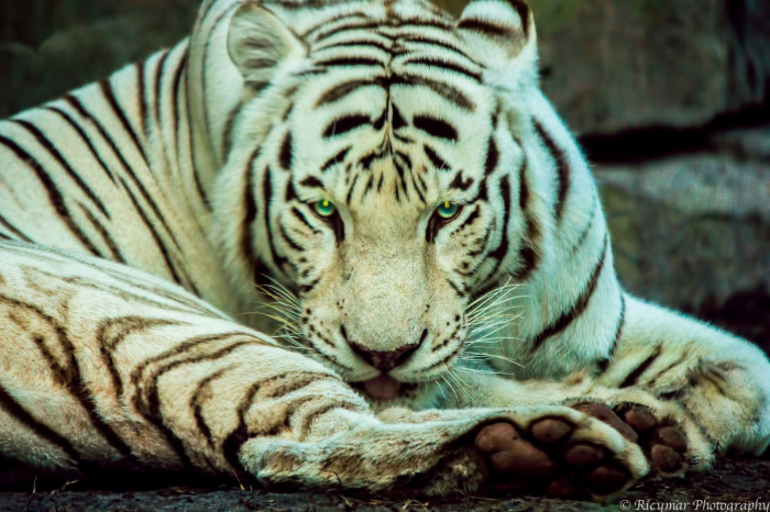 5. White Tiger at Busch Gardens in Tampa