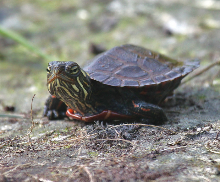 3) A Hatchling Painted Turtle in Swanton.