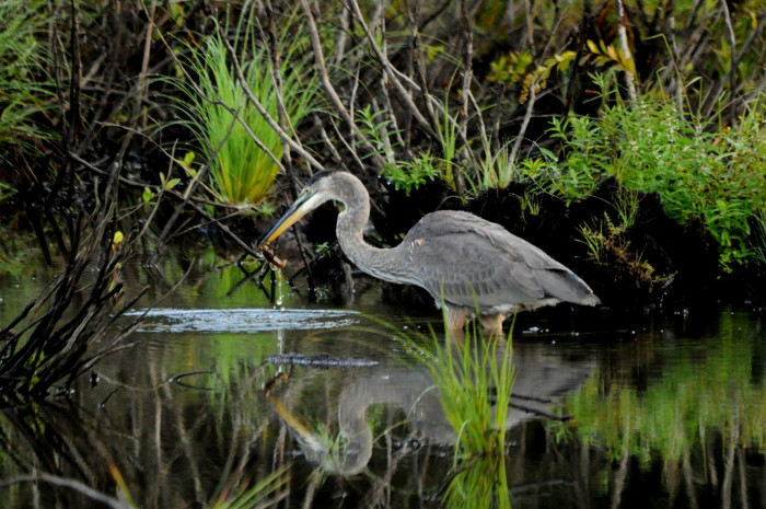 15) And of course, the elegant blue heron.