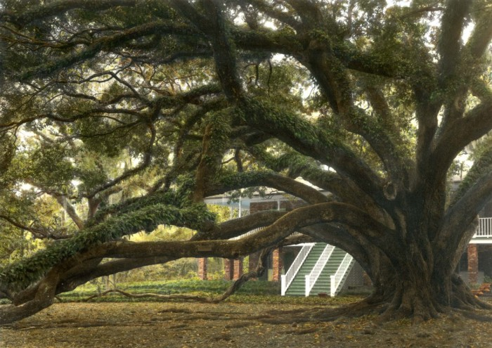 4) Seven Sisters Oak