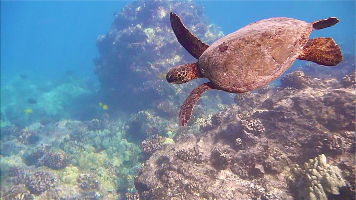 8) Perhaps honu would no longer have a place to thrive.
