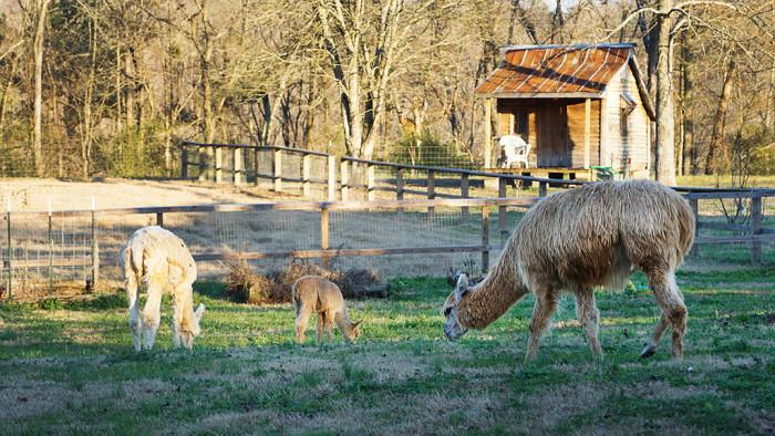 4. Even alpacas LOVE the Alabama farm life!
