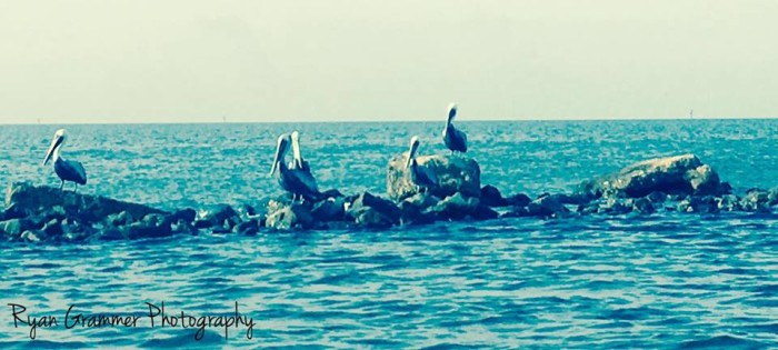 9. A group of pelicans soak up some sun in Biloxi.