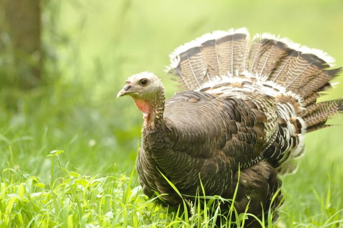 13) This wild turkey.