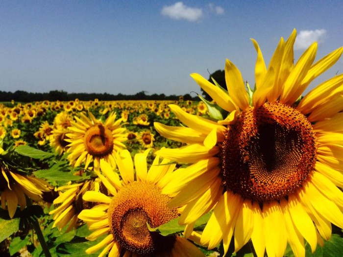 18. A gorgeous sunflower field in Beehive, Alabama.
