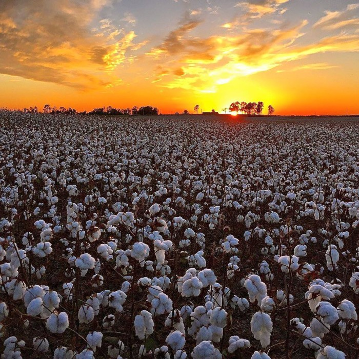 11. A lovely view of a cotton field in Harvest, Alabama.