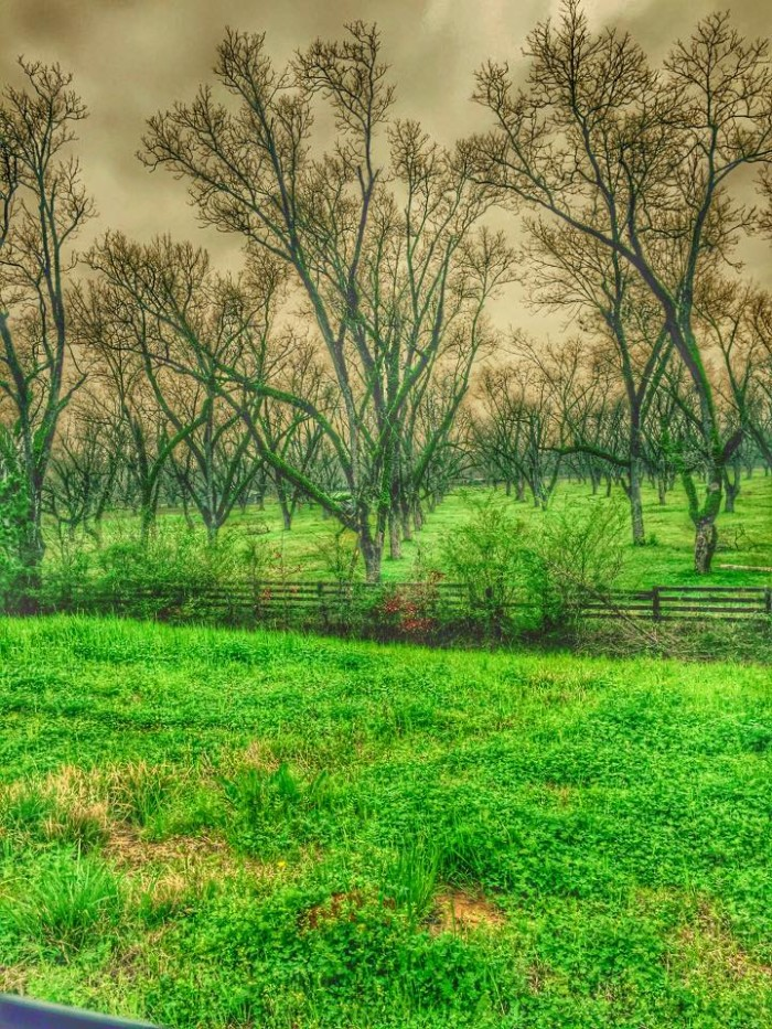 16. An old pecan orchard in Fosters, Alabama.