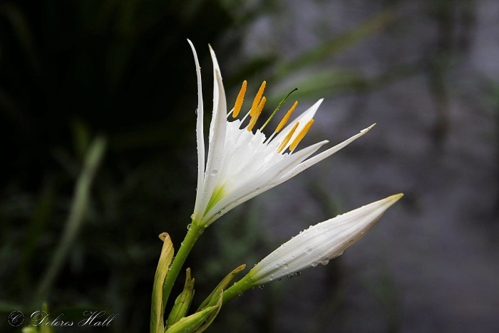 12. In this photo, an exquisite Cahaba Lily is blooming on the shoals of the Cahaba River.