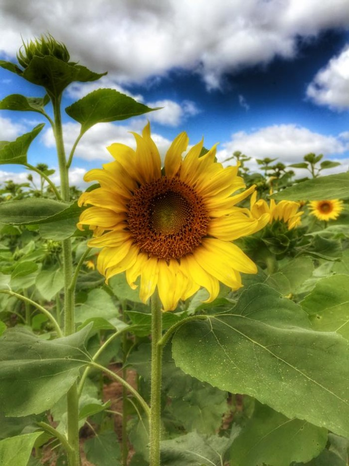 14. I absolutely love sunflowers, and this sunflower photo was captured at Aplin Farms near Dothan, Alabama.