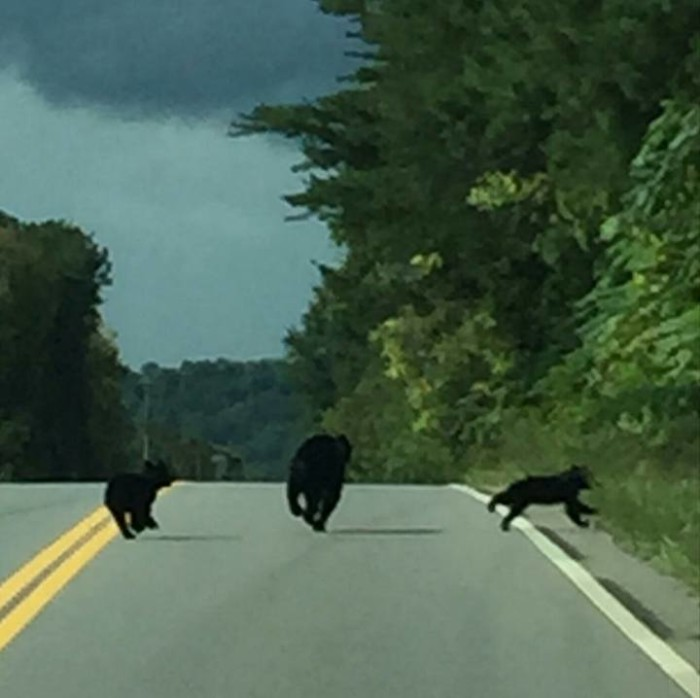 14) Whoa! We're so jealous that Nellie Smith got to see these bears bookin' it across a Tennessee backroad.