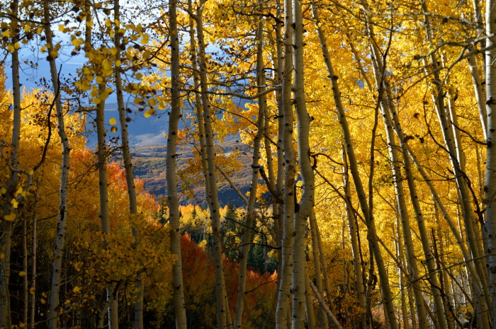 2. Changing Aspens on Owl Creed Pass.
