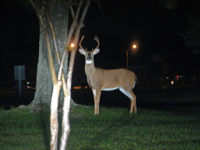 "11. An actual ""deer in headlights"" photographed in Bay St. Louis."