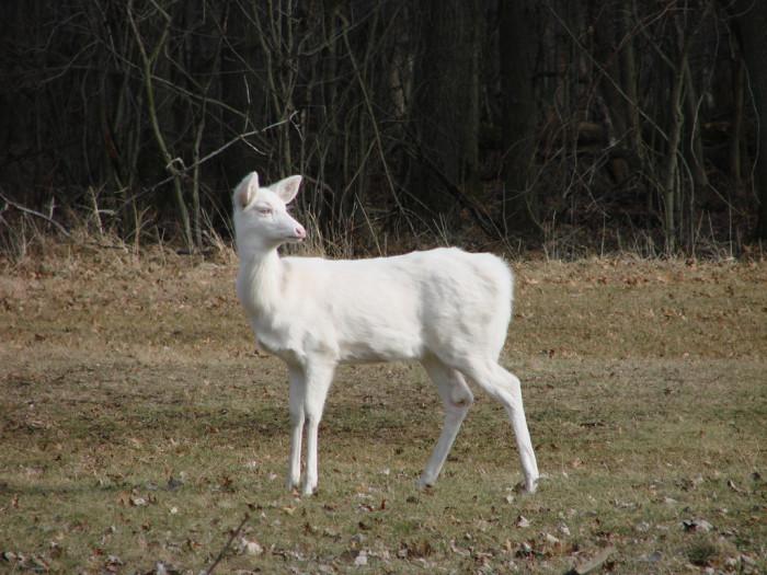 Great Dismal deer