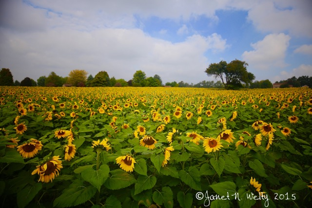 8. Sunflowers in Orrville, OH