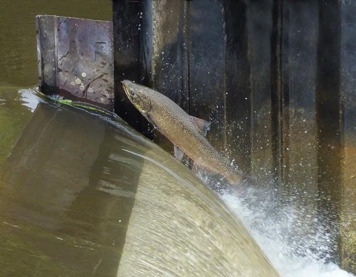 9) John Vavrek caught this guy jumping the Homestead Dam.