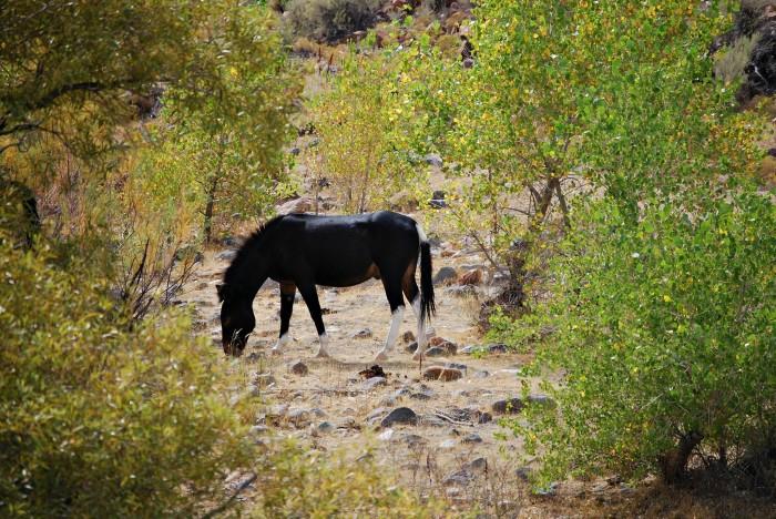 2. A wild horse at Lagomarsino Canyon near Lockwood, Nevada.