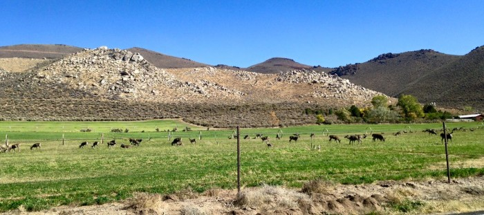 6. A large deer herd near Washoe State Park.