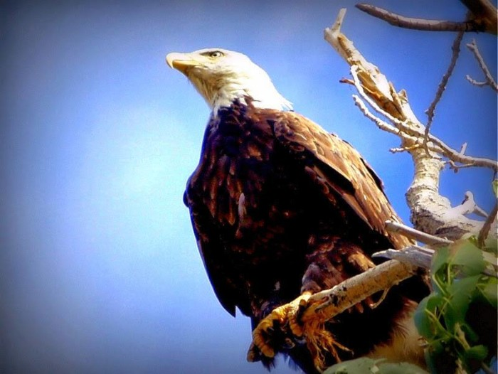 9. A beautiful bald eagle in Washoe Valley.