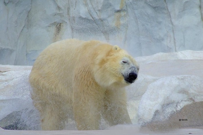 4) Nuka the polar bear shakes it off at the Detroit Zoo, as captured by John Vavrek.