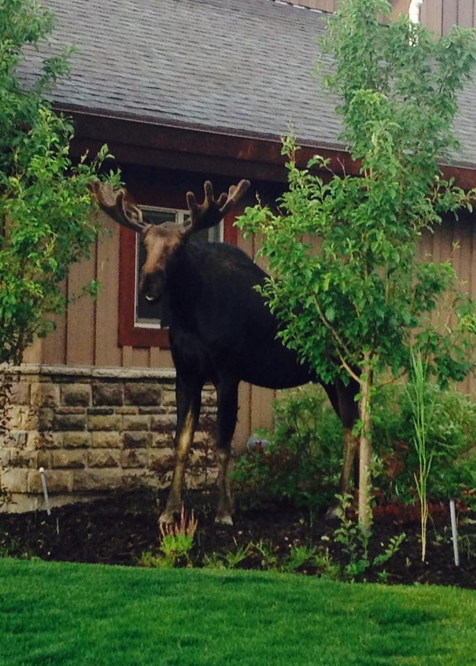 """13. Patti Gonzales Konzen saw this """"Moose in the hood"""" in Park City."""