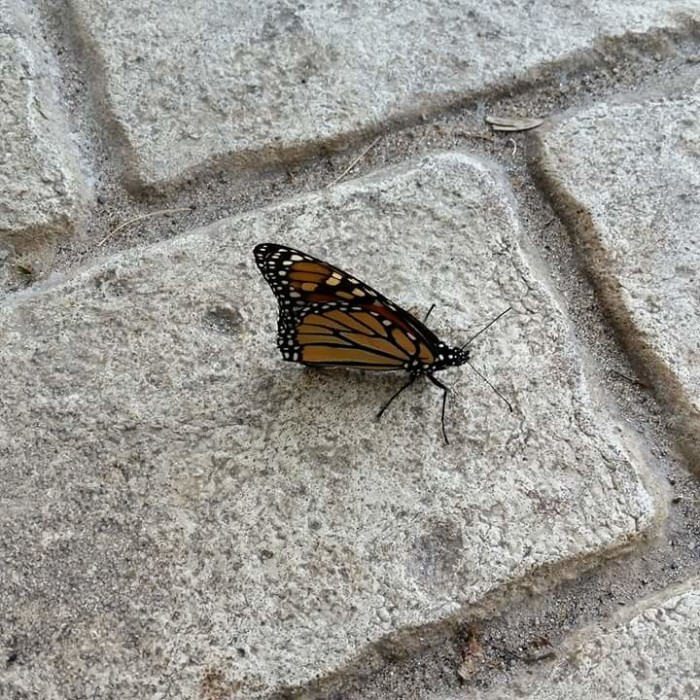 14) Butterfly in East Tawas