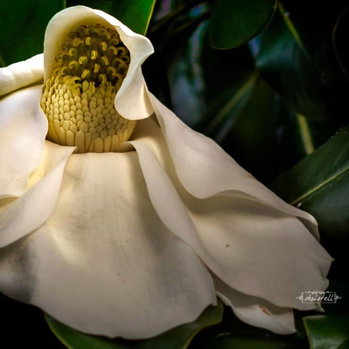 6. A Magnolia flower up close by Christell Broussard Faul.