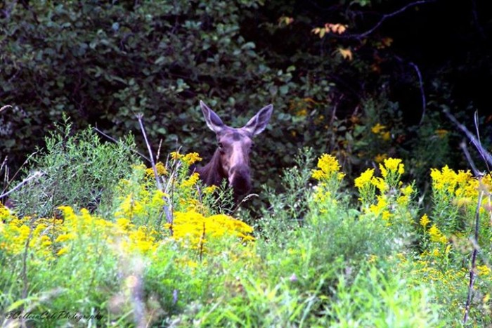 9) This up-close and personal shot of a moose in action, taken by Colleen Cole.