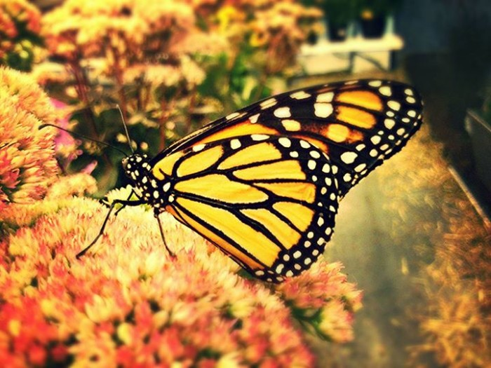 7) Cristiona Noyes was able to capture this vivid image of a monarch butterfly at the Champlain Valley Fair in Essex.