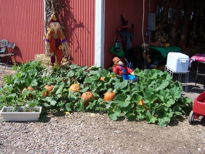 2. Schaefers and Collins Pumpkin Patch