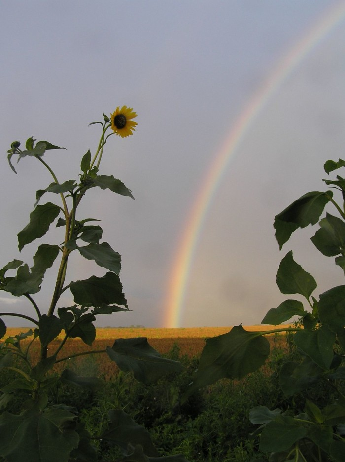 4. This rainbow is peeking through the sunflowers in  Woods County.