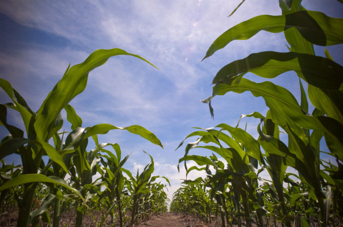 2) The corn maze at River of Life Camp in Irasburg.
