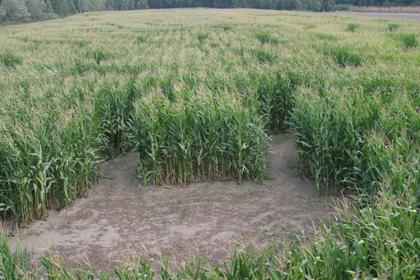 1) Sam Mazza's Corn Maze