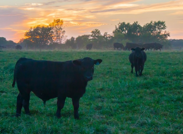 1. I absolutely LOVE this shot of friendly cows in rural Milan, IL.