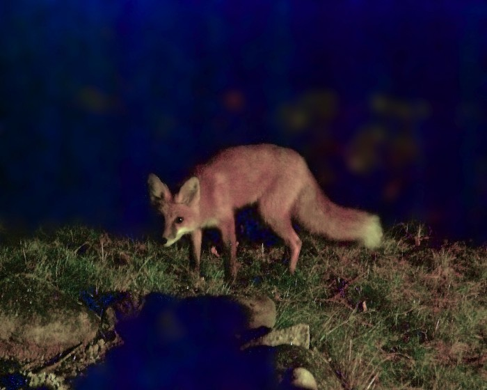 6. One can never be sure what kind of animals stir at night, such as this red fox in Oneida.