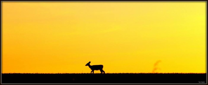 8. As the sun sets, this doe continues to trek.