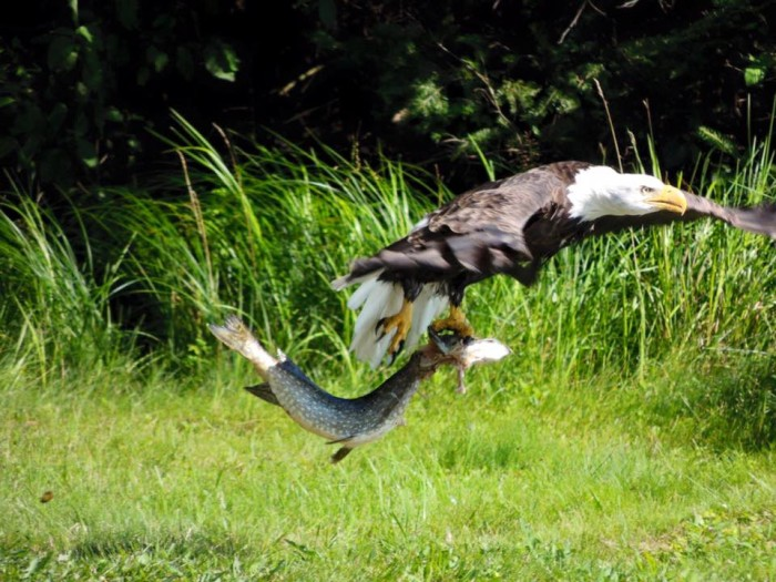 20. This bald eagle it taking its snack to-go.