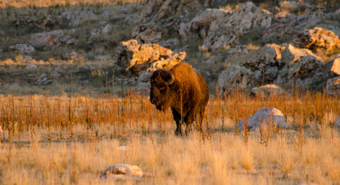 9. Watch the Bison Roundup at Antelope Island.