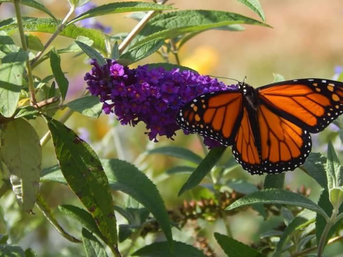 """11.Cara Cundiff submitted this photo and says, """"Caught this monarch butterfly fueling up for his flight down south at Nathaniel Greene Park in Springfield, Mo""""."""