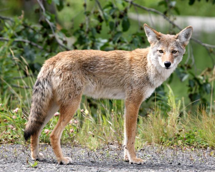 10. Coyotes