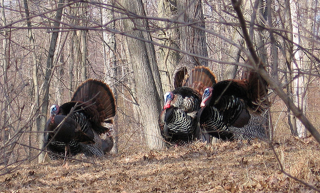1. Pennsylvanians are ahead of the thankfulness curve; Ben Franklin, a Pennsylvania visionary, at one time vouched for turkeys as America's mascot, instead of the eagle.