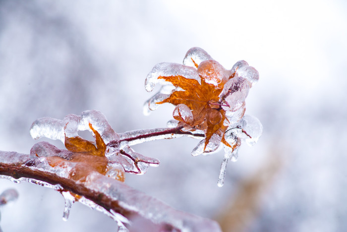 4. Iced over leaves.
