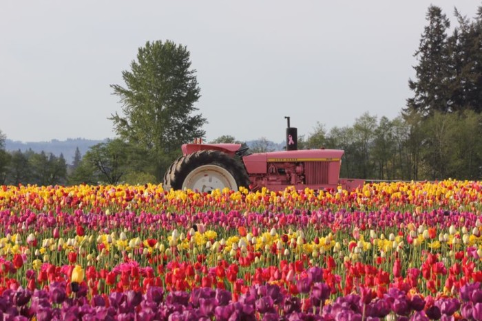 15. A Pink Tractor at the Wooden Shoe Tulip Fields in Woodburn, by Sue Collins‎.