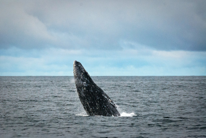 5) Witness the California Gray Whale migration.