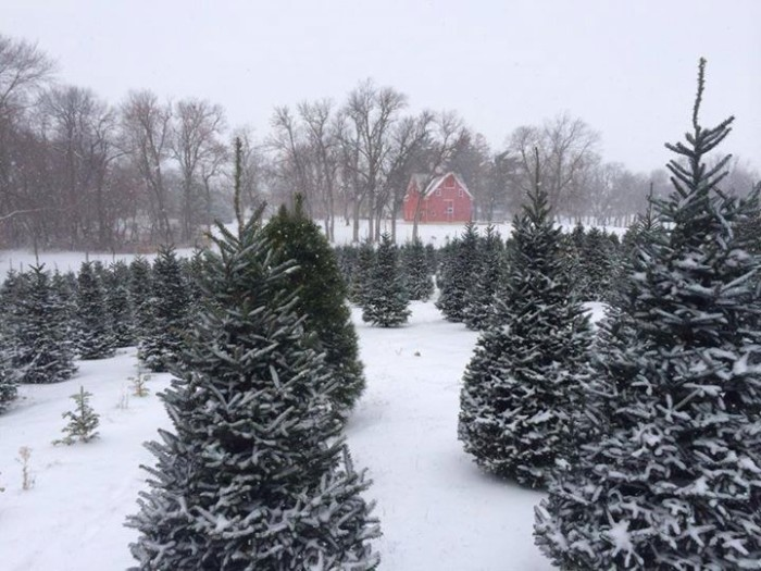11. And you can't forget about the joy of picking out your own Christmas tree at one of Iowa's many tree farms, like Victorian Pines Christmas Tree Farm in State Center, shown below.