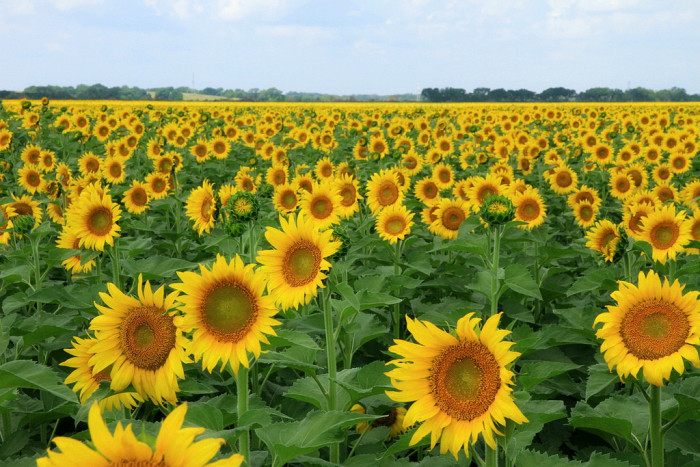 S is for Sunflowers.