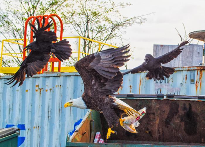 7) Seen an eagle dumpster diving.