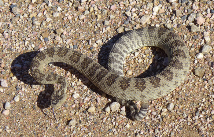 4. Great Basin Rattlesnakes