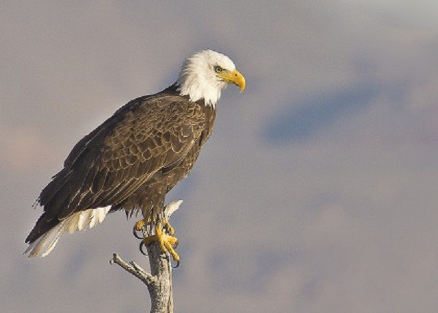 18. Bald eagles migrate and hang out at the Bear River Migratory Bird Refuge.