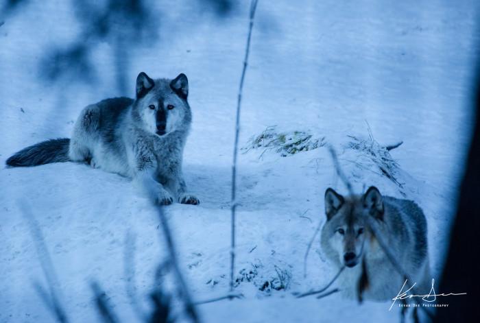 7) Wolves waiting for nightfall.